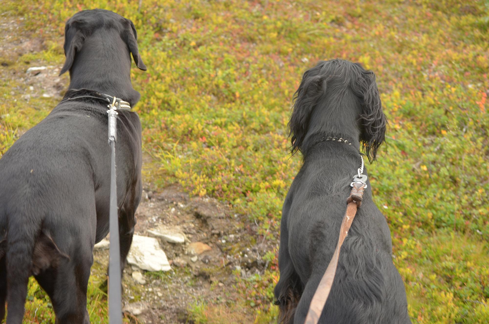 Ammarnäs Hundar
