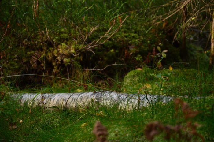 björk i gräs