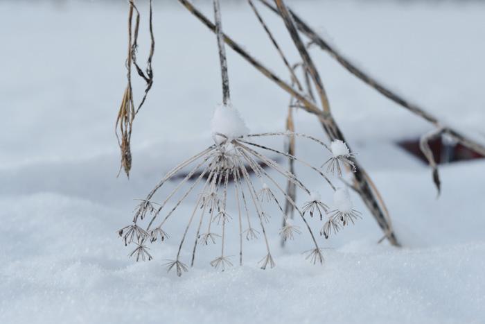 dillkvist i snö