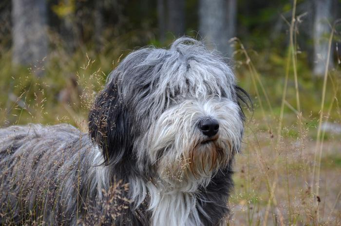 Hundbild Bearded Collie