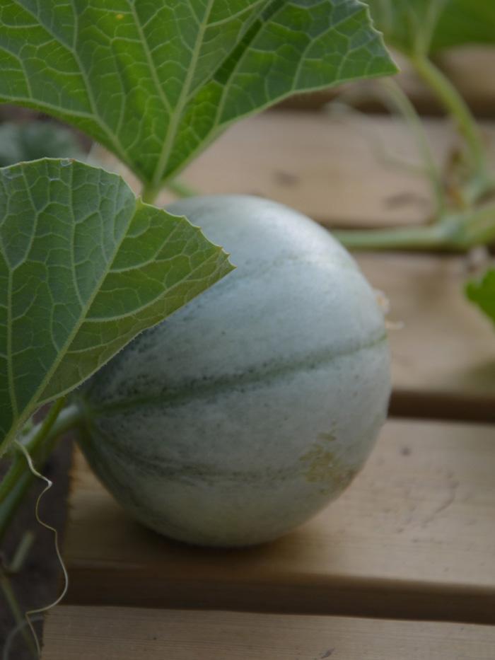 Odlingssäsong meloner
