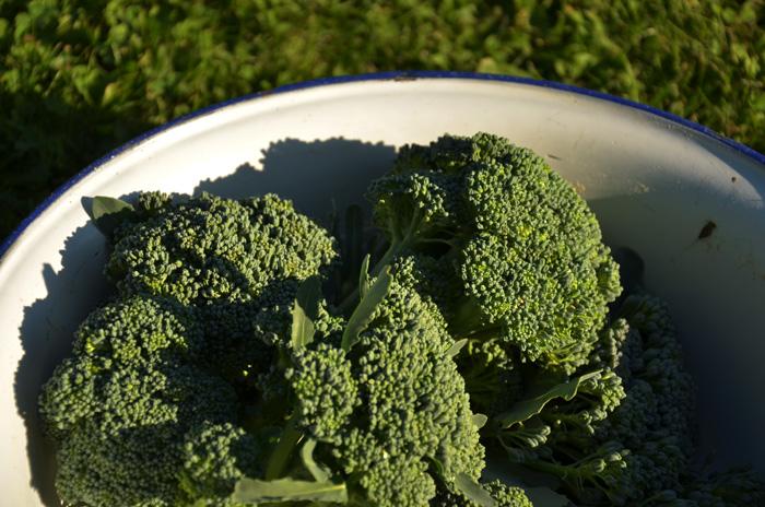 Odla broccoli