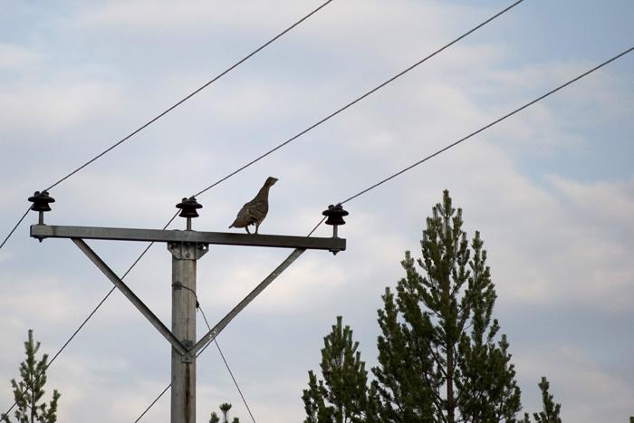 fågelbilder tjäder