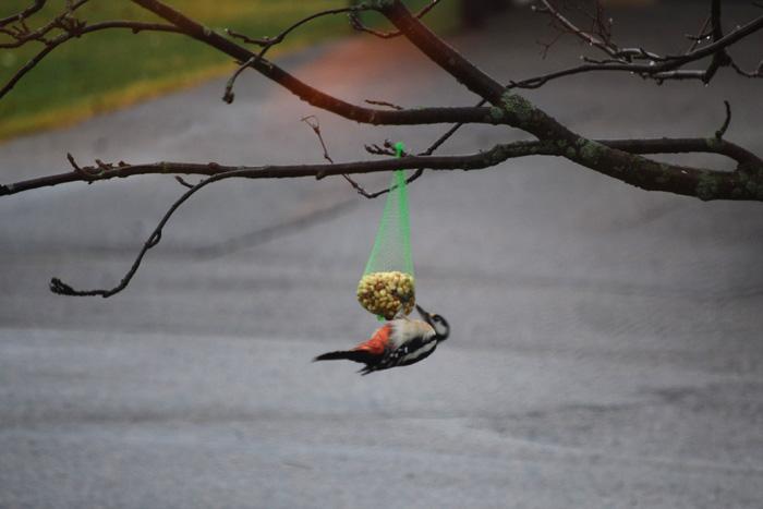 fågelbilder hackspetten