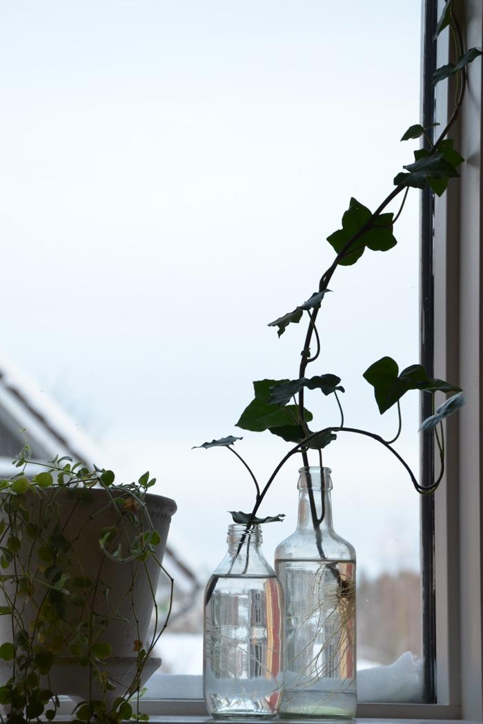 krukväxter tillväxt