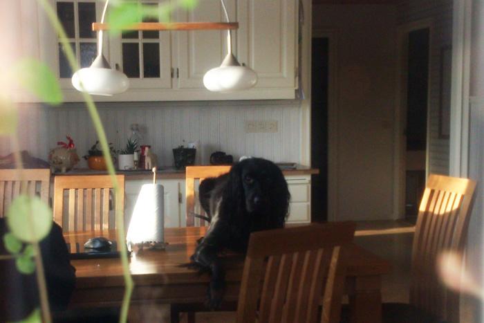 hund på köksbord