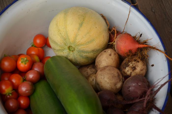 skörda grönsaker