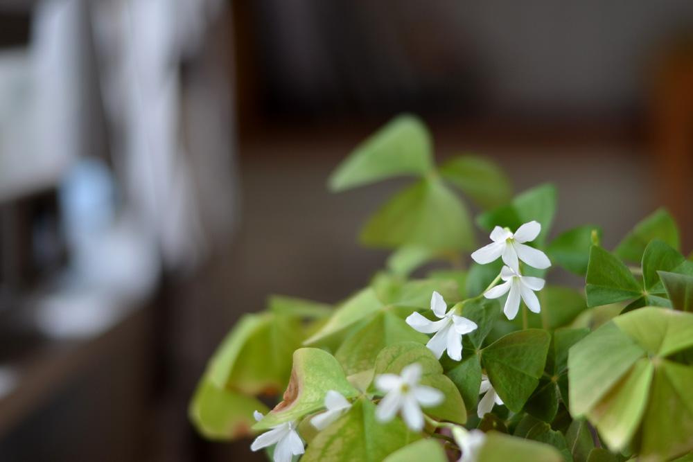 blommande klöver