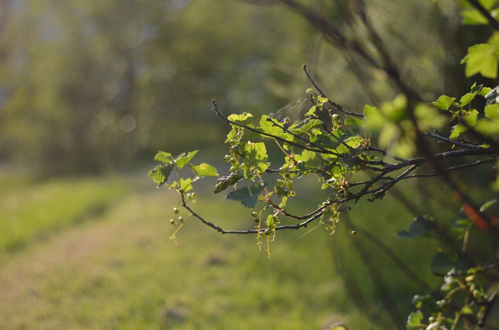 kvällssol i trädgård