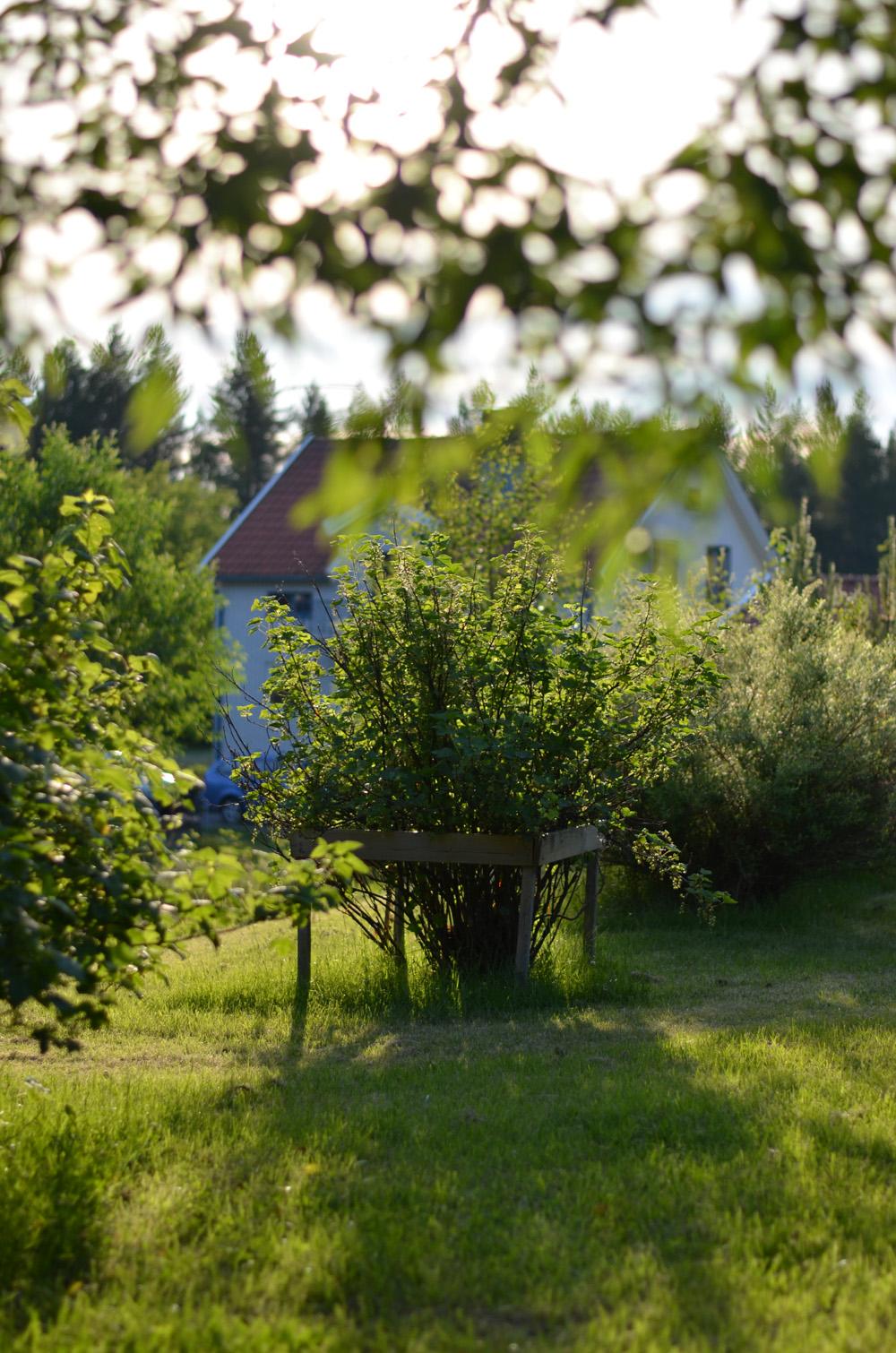 kvällssol trädgård