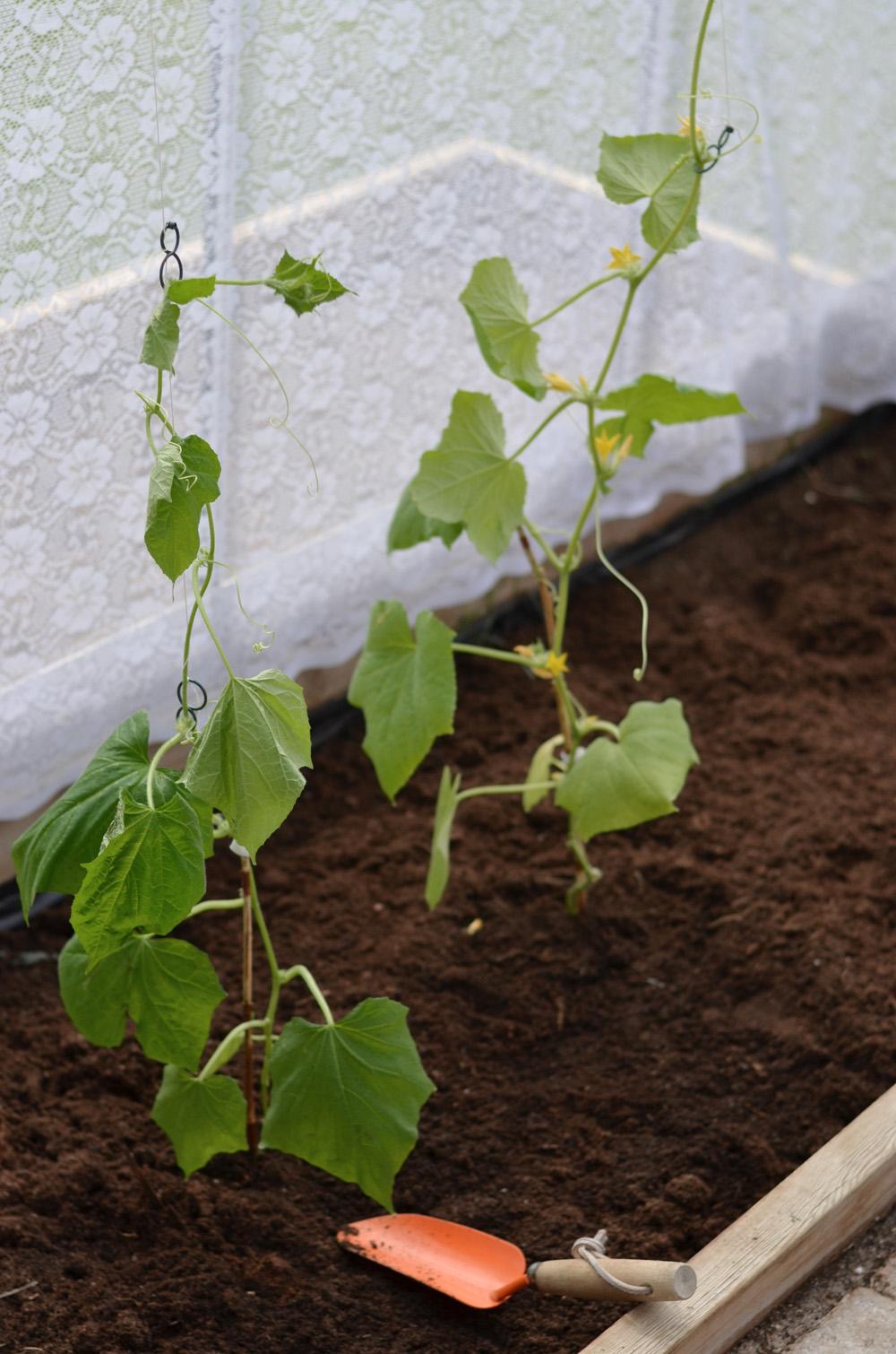 skugga i växthus