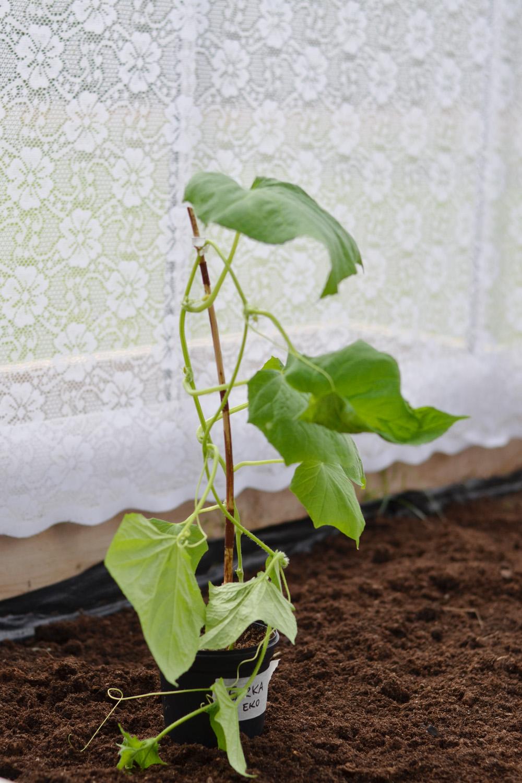 skugga växthus