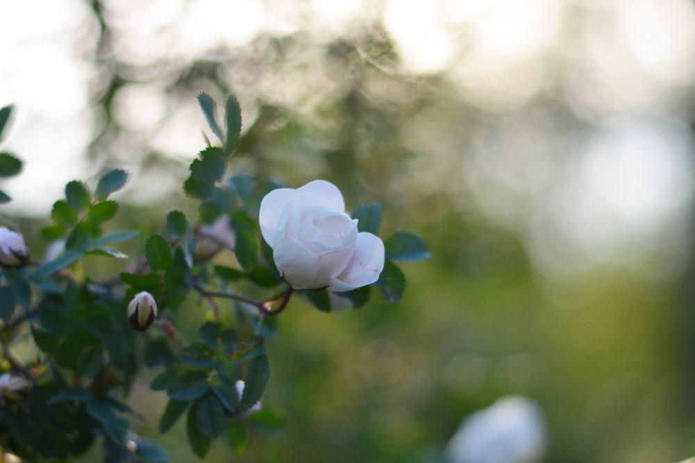 trädgård kvällssol