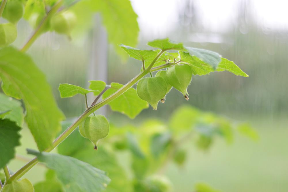 kapkrusbär på kvist