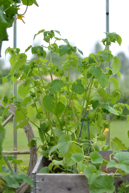 kapkrusbär planta