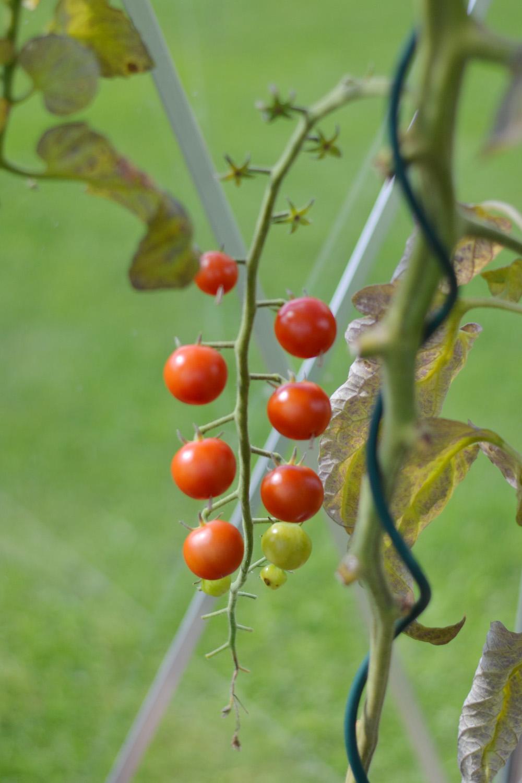 tomatkvist