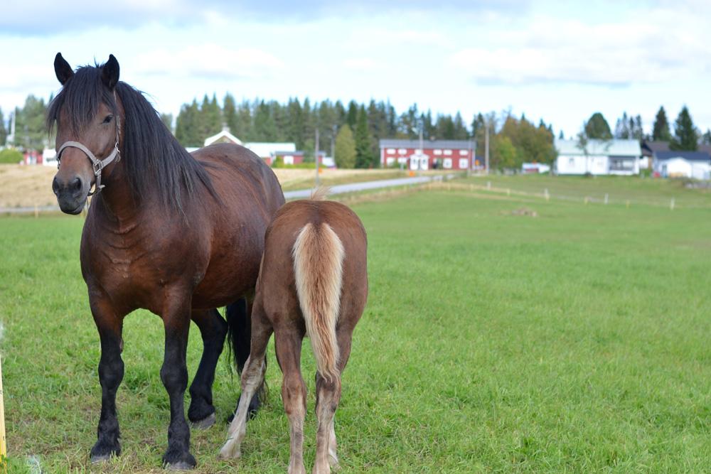 nordsvensk brukshäst