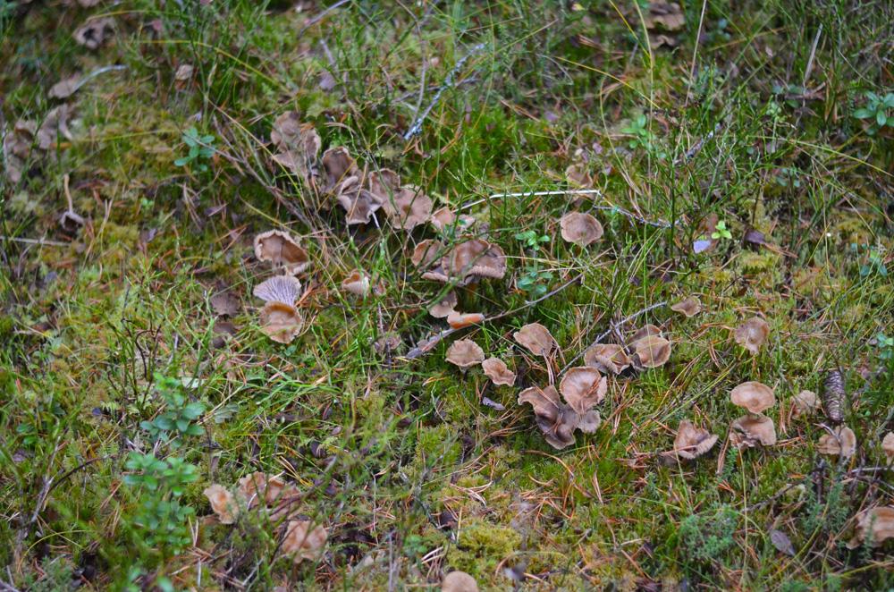 trattkantareller-i-skogen
