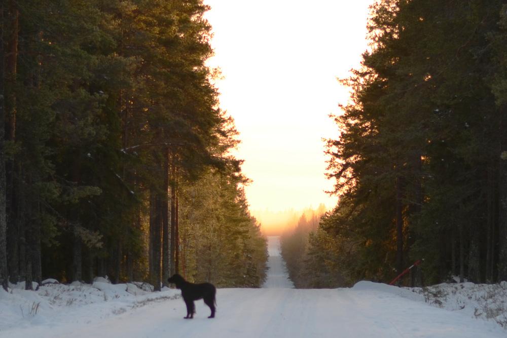 solnedgang-hund