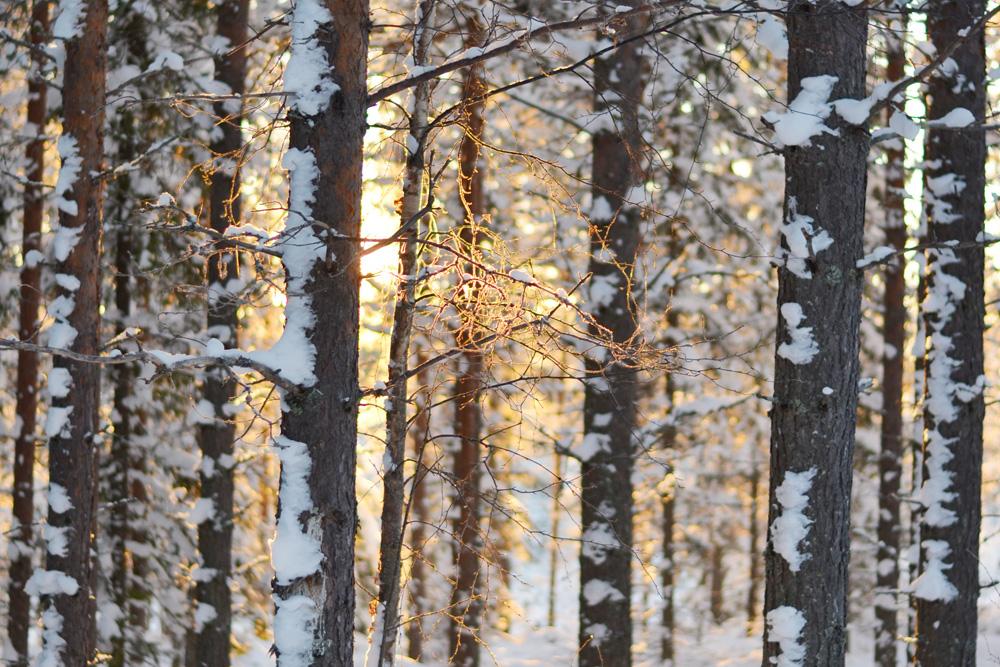 vintersol-i-skog
