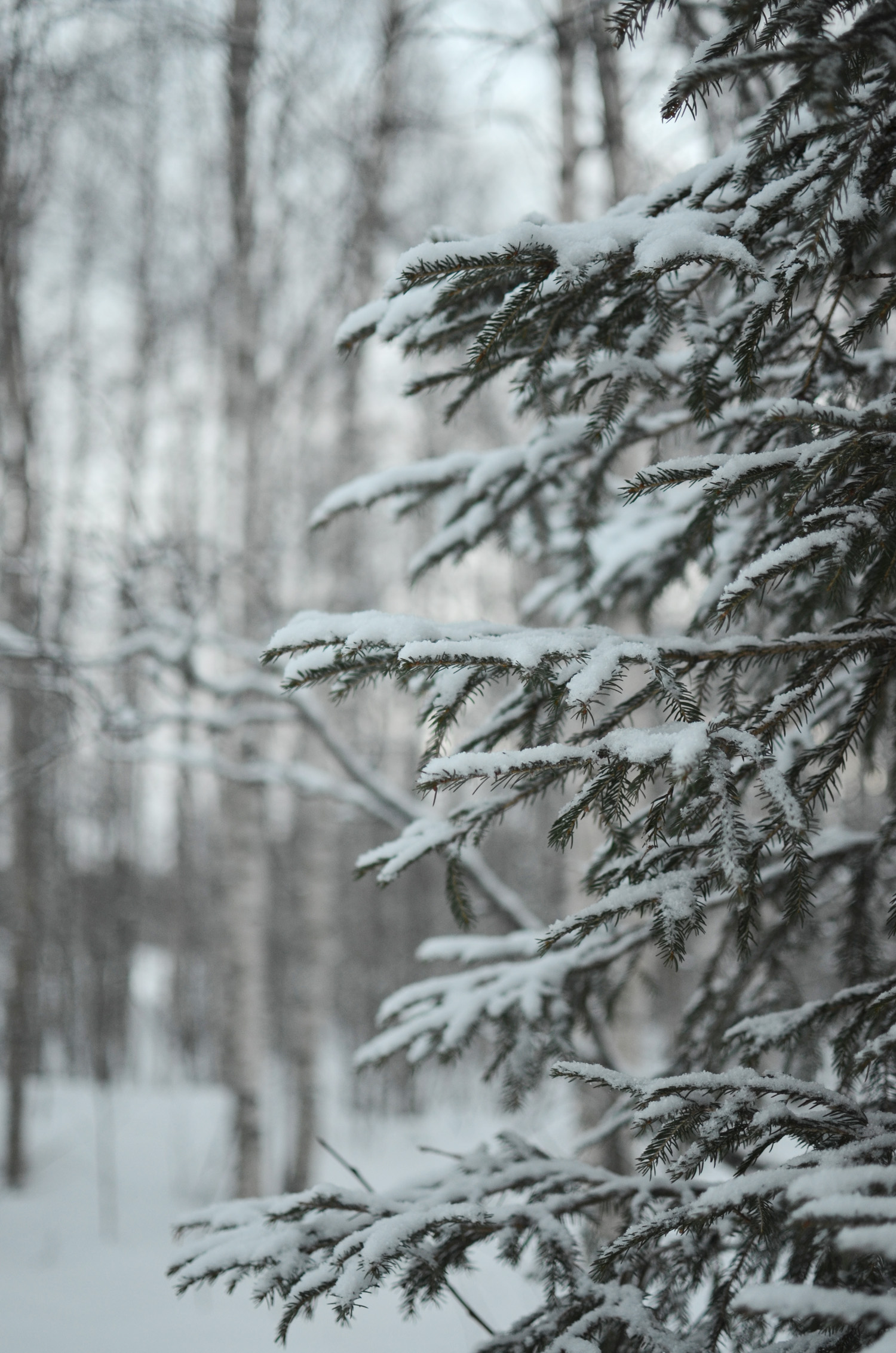 snöig gran