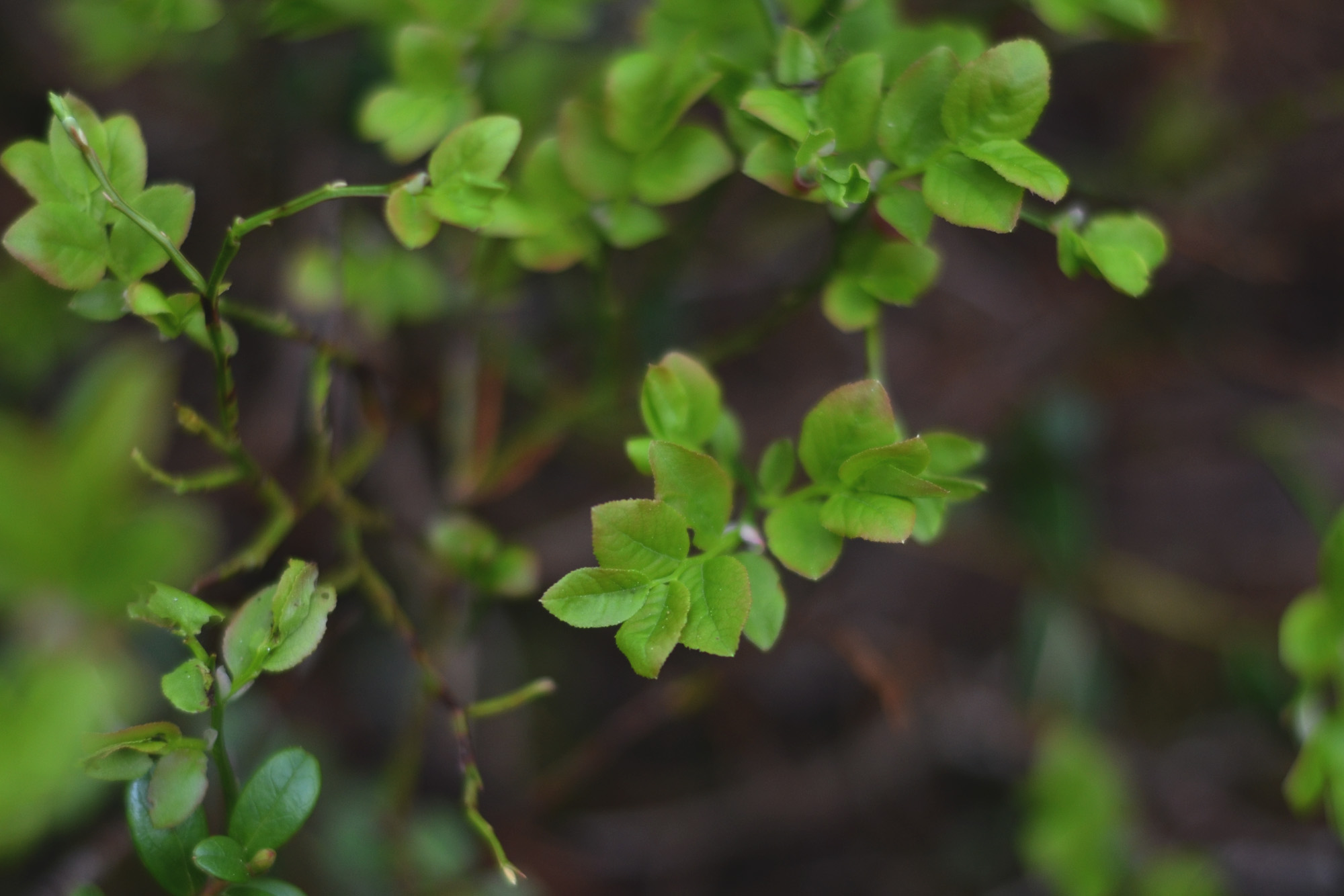 Blåbärsblad