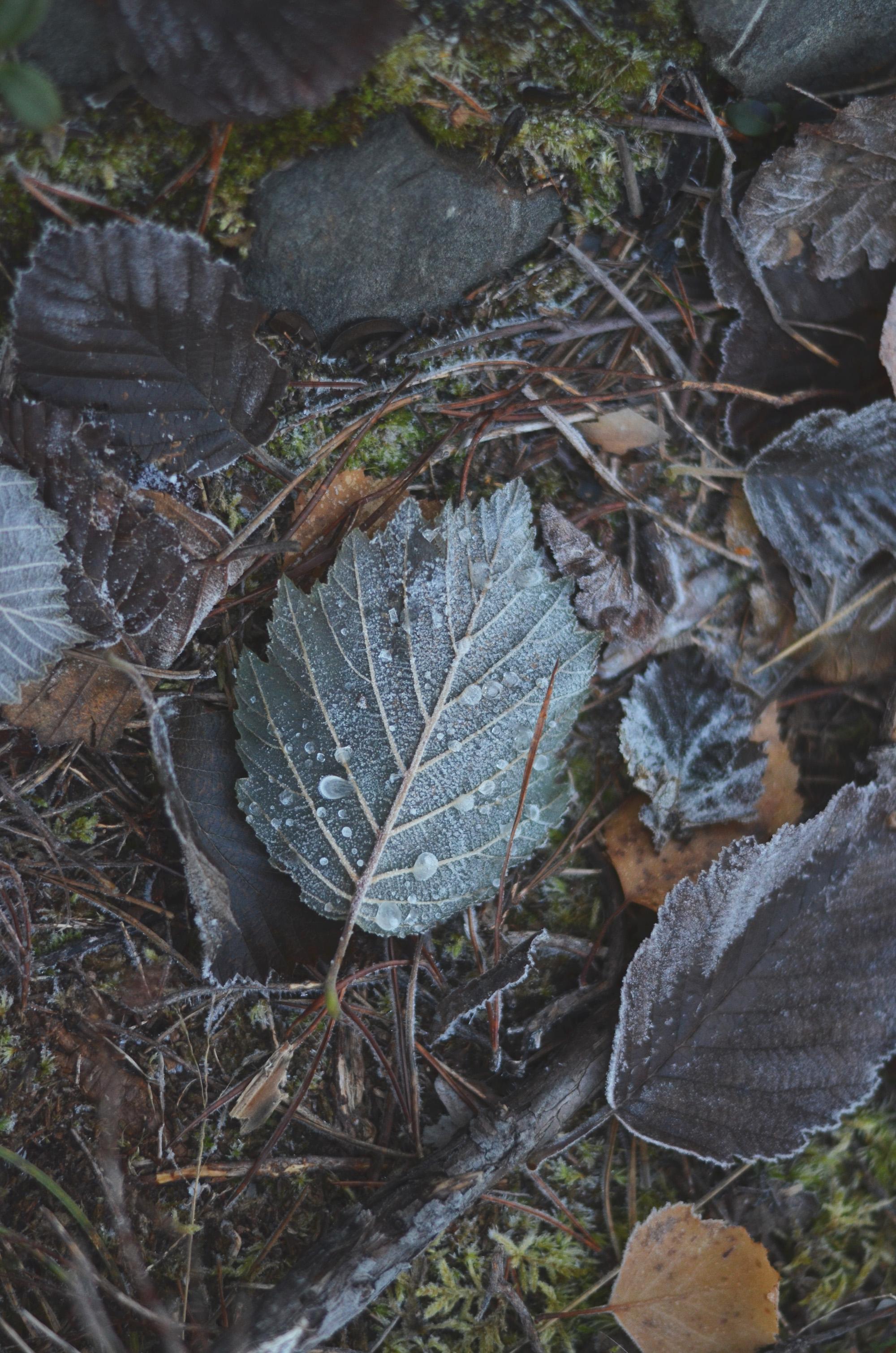 Fruset löv