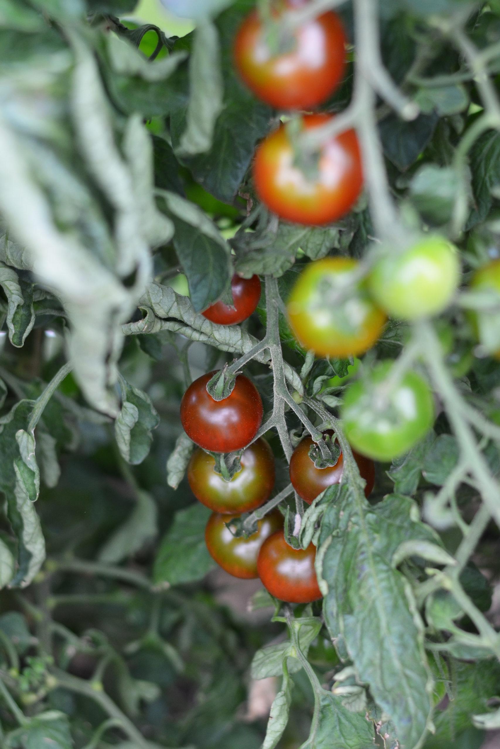 Mogna tomater